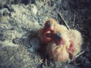 vie-du-pigeon-1