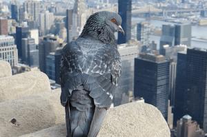 vie-du-pigeon-3